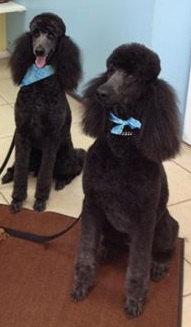 photo, finished grooming, 2 Standard Poodles