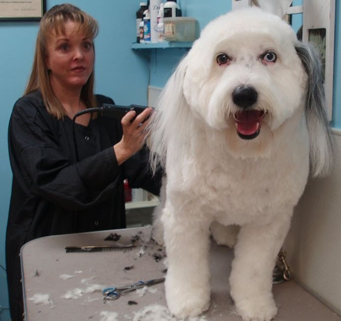 photo, Cindy grooming a sheepdog mix